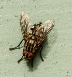 Flesh Fly close-up macro image Royalty Free Stock Photos