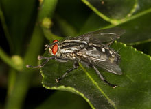 Flesh Fly. Stock Photography
