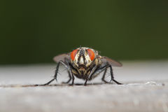 Flesh fly closeup. A closeup of a flesh fly focused on the eyes Stock Photography