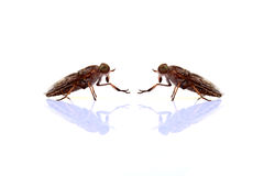 Flesh fly Stock Photos