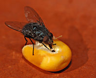 Flesh fly on a corn seed 1. A flesh fly eats a corn seed on a rough-textured red clay plate Royalty Free Stock Image