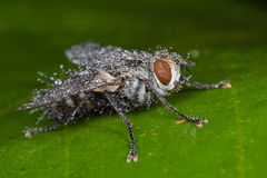 A flesh fly covered with dew drops Royalty Free Stock Image
