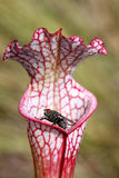 Flesh Fly on a Crimson Pitcher Plant Stock Image