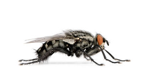 Flesh fly in front of white background Royalty Free Stock Image