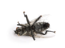 Flesh fly in front of white background Stock Photos