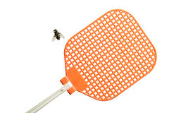 Flesh fly lying on its back next to fly swatter. Stock Photos