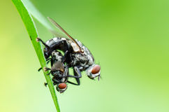 Flesh Fly mating royalty free stock photos
