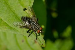 Flesh Fly - Species unknown. A Flesh Fly perched on a leaf. Todmorden Mills Park, Toronto, Ontario, Canada royalty free stock photo