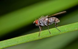 Flesh Fly on a pine needle. A common Flesh Fly Sarcophaga bercaea side view on a pine needle in Houston, TX stock photo