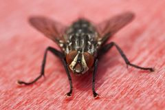 Flesh Fly on red surface. Macro of a flesh fly sitting on red surface Stock Photography