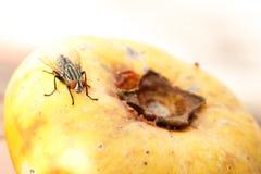 Flesh Fly Stock Photo