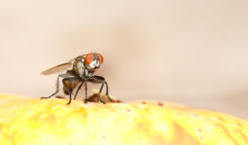 Flesh Fly Stock Image