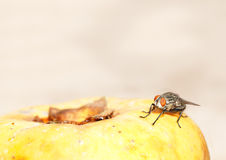 Flesh Fly Royalty Free Stock Images