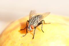Flesh Fly Royalty Free Stock Image