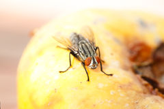 Flesh Fly Royalty Free Stock Photo
