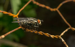 A Flesh Fly Stock Images