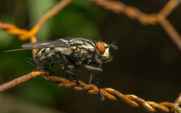 A Flesh Fly Stock Photos