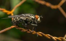 A Flesh Fly Stock Photos