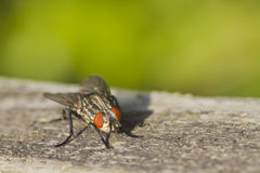 Flesh Fly (Sarcophaga bercaea) Royalty Free Stock Images