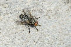 Flesh fly on slating. Flesh fly Sarcophaga sp. sitting on slating. Close up royalty free stock photos