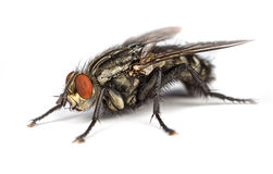 Flesh Fly Stock Images