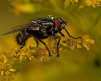 Flesh fly, Sarcophagidae on a flower Royalty Free Stock Images