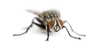 Flesh fly, Sarcophagidae, isolated Royalty Free Stock Photo