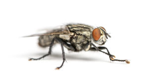 Flesh fly, Sarcophagidae, isolated Royalty Free Stock Image