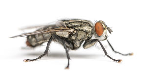 Flesh fly, Sarcophagidae, isolated Royalty Free Stock Photography