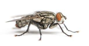 Free Flesh Fly, Sarcophagidae, Isolated Royalty Free Stock Photography - 37848957