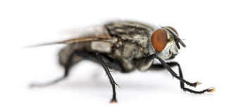 Flesh fly, Sarcophagidae, isolated Stock Photography