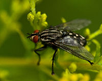 Flesh fly, Sarcophagidae on a plant Royalty Free Stock Photos