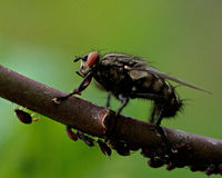 Flesh fly, Sarcophagidae on a straw with aphids Stock Photos