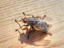 Flesh Fly (Sarcophaginae) Royalty Free Stock Images