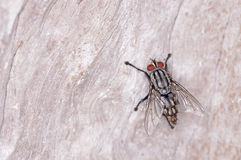 Flesh flies Royalty Free Stock Photography