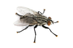 Flesh fly viewed from up high, Sarcophagidae, isolated Stock Photos