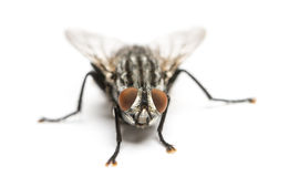 Flesh fly viewed from up high, Sarcophagidae, isolated Stock Photo