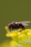 Flesh Fly on Wild Parsnip Umbel. A Flesh Fly resting on a Wild Parsnip Umbel Royalty Free Stock Photography