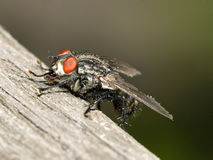 Flesh-fly on wooden plank Royalty Free Stock Photography
