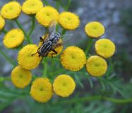 Flesh fly on yellow flowers Stock Images