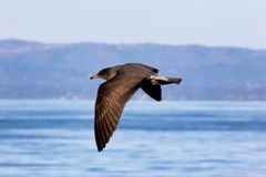 Flesh-footed Shearwater Stock Photo