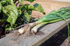 Flesh Organic Scallions. Vegetable Garden White Spring Onions. stock image