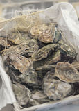 Fleshly opened oysters Royalty Free Stock Photos