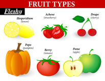 Fleshy fruit types. Fruit types. Fleshy Fruits can be subdivided into those formed from a single flower and those formed from a group of flowers.  They can have Stock Photography