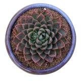 Fleshy plants Stock Images