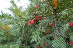 Fleshy red berries on shoots of yew. Bush stock image