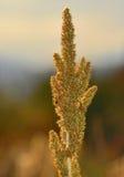 Flesseborstel zoals het Westen van het Installatieonkruid uit in Rocky Mountains stock foto