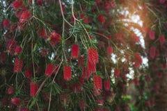 Flesseborstelboom/Schoonheids exotische rode bloem van flesseborstelboom Stock Afbeelding