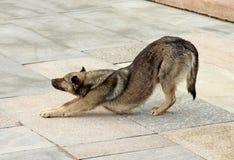 Flessioni del cane di Brown, tiranti le zampe anteriori Fotografie Stock Libere da Diritti
