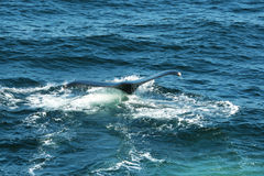 Flet de baleine images stock